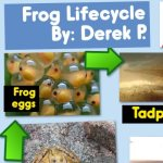 Frog Lifecycle Mini Poster