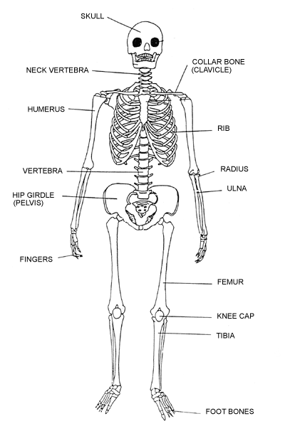 label the human skeleton | k-5 computer lab, Skeleton